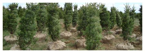 where to get best live tree prices live evergreen prices blue ridge tree farm
