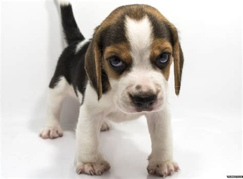 puppies pictures the reason we can t resist puppy explained newsbeat
