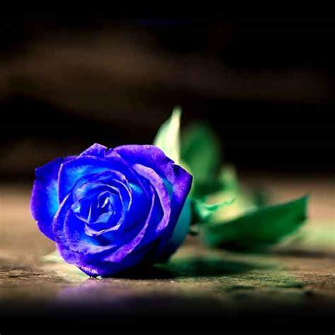 Imagenes De Rosas Moradas Y Azules | rosas azules naturales imagenes de rosas