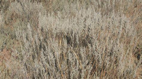 Sand sage (Artemisia filifolia) Seed for Sale   Lorenz's