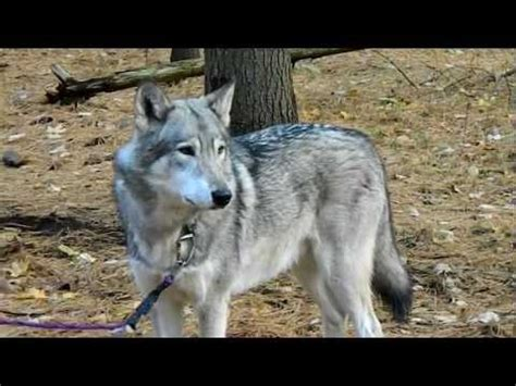 download mp3 free wolves download cree the timber wolf howling video mp3 mp4 3gp