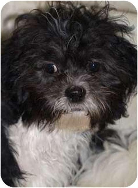 shih tzu rescue ontario shihtzu bichon pups adopted puppy shi bis toronto etobicoke gta on shih tzu