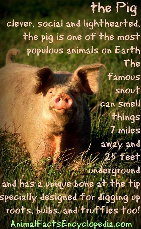 are pigs smarter than dogs pig facts animal facts encyclopedia