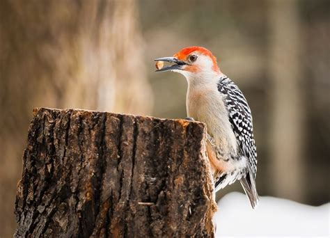 1000 images about birds woodpeckers on pinterest