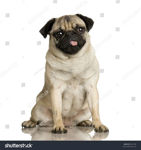 pug with tongue out pug stitting in front of white background and spitting its tongue out stock photo