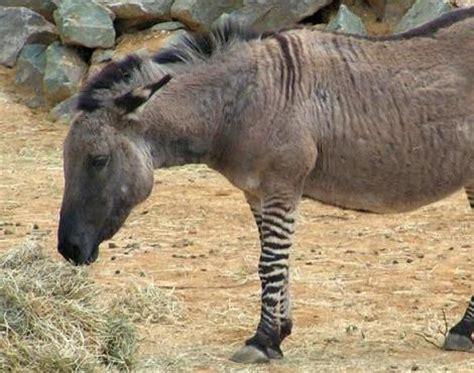 Picture 3 of 7 - Zonkey (Equus Zebra X Equus Asinus ...
