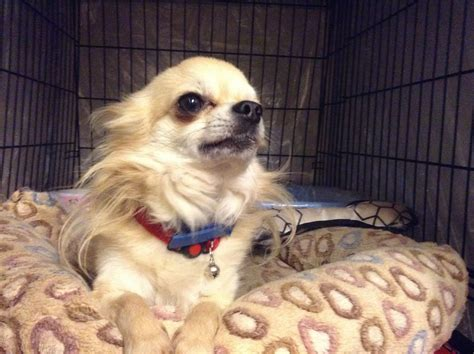 pictures of long haired chihuahua haircuts long hair chihuahua haircuts long haired chihuahua