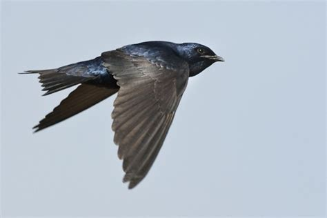 nature canada purple martins reach ontario