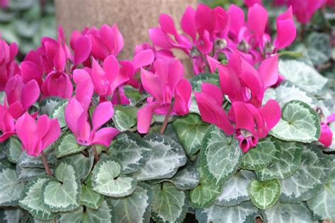 cyclamen color powell gardens february 2011