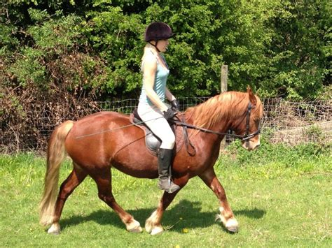 section c for sale welsh sec c chestnut 4yr old gelding for sale rochester