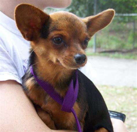 short haired dorkie mixes yorkie and chihuahua mix sara the chihuahua yorkie mix s web page