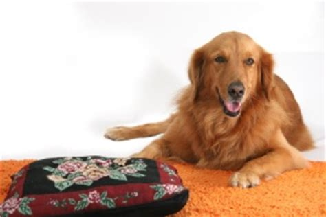how much should my golden retriever weigh golden retriever weight and appearance