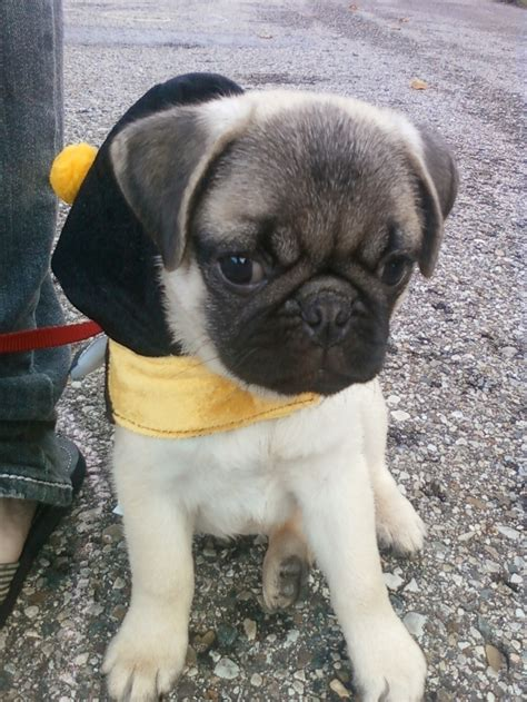 getting a pug 1000 images about pugs on black pug puppies black pug and pug