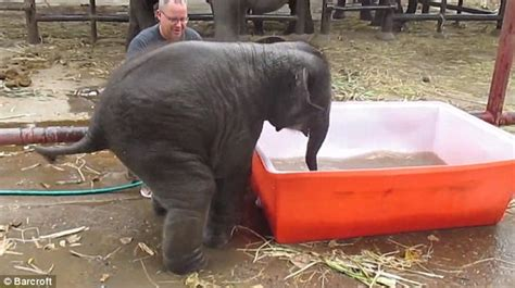 elephant in the bathtub excited baby elephant dives head first into bath and
