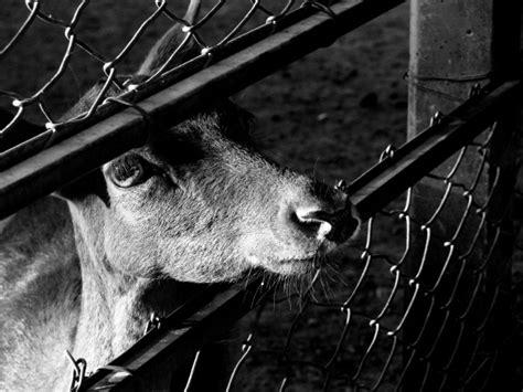 imagenes a blanco y negro tristes imagen de blanco y negro animal animales granja granjas