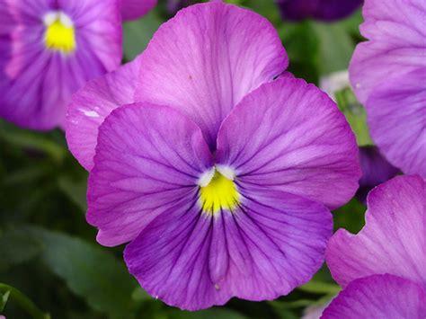 Flowers Violet violet flower purple blue violet flowers