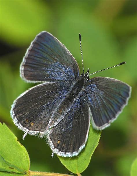 Syari Buterfly Blue western tailed blue butterfly 1