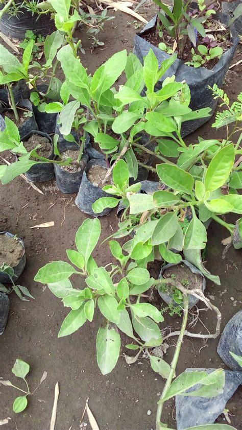 Bibit Bunga Sepatu Variegata bibit tanaman update daftar harga terbaru
