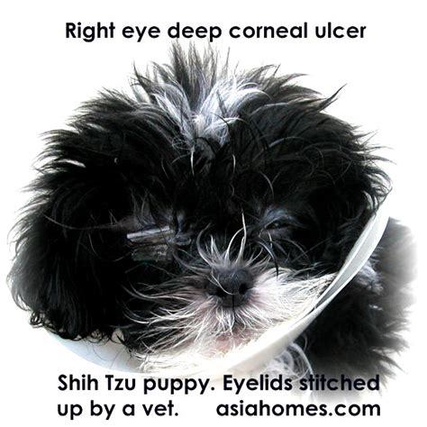 shih tzu eye ulcer 031119asingapore real estate condo advertising agency classified advert