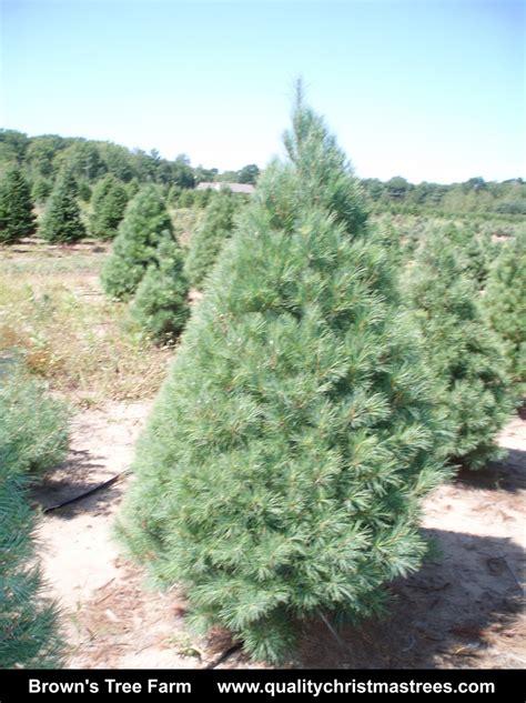 new york christmas tree farms and lots caroldoey