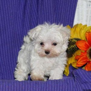 teacup puppies for sale in pa 300 maltese puppies for sale in pa
