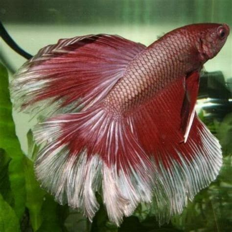 17 best images about betta fish on pinterest half moons