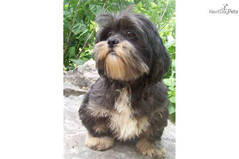 lhasa apso puppies for adoption lhasa apso puppy for adoption near 8636b0fa 2042