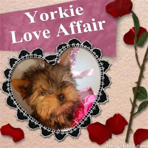 my yorkie has diarrhea and vomiting ripoff report calverley yorkie affair complaint review