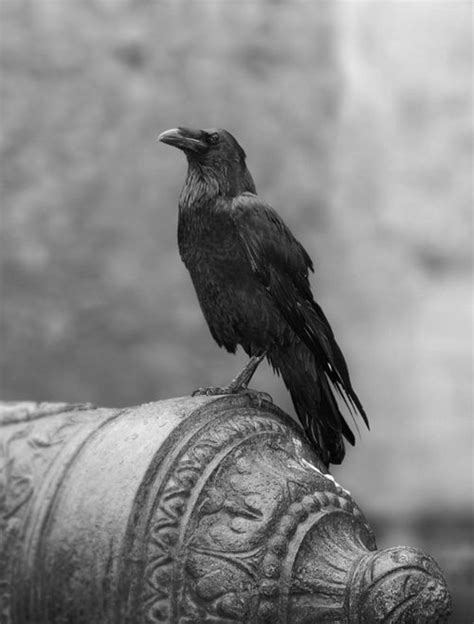 pin by denise nugent on raven crow pinterest