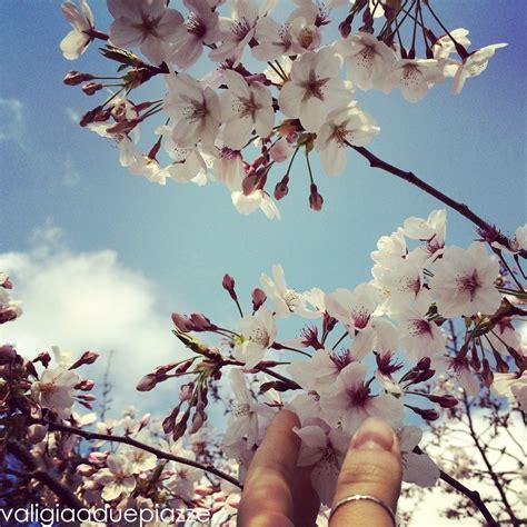 fiori di ciliegio giapponesi ciliegi giapponesi in fiore a roma