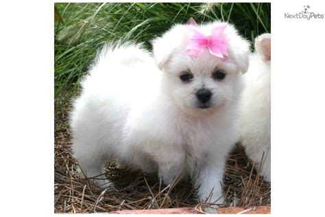 Pomeranian Shedding by Meet Pixie A Pomeranian Puppy For Sale For 400