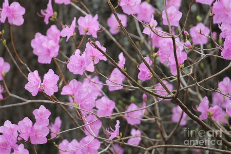 pink flowering spring bush by ulli karner
