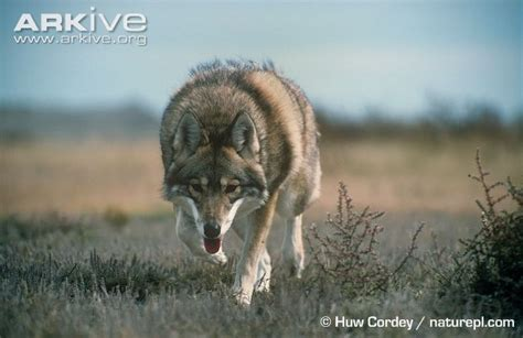 coyote videos photos and facts canis latrans arkive coyote photo canis latrans g59296 arkive