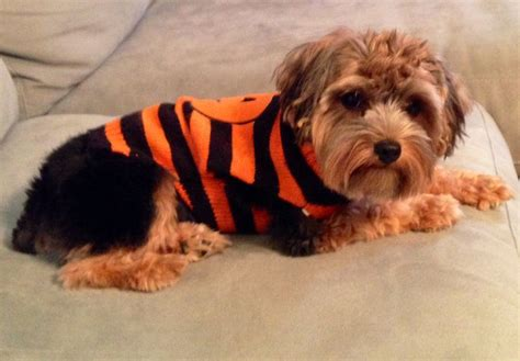 yorkies in costumes yorkie in a pumpkin costume so dogs