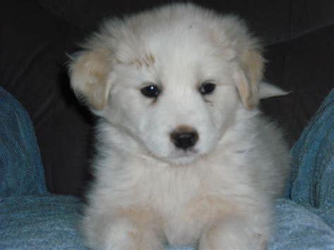 samoyed puppies for adoption samoels samoyed x spaniel puppies for sale adoption from