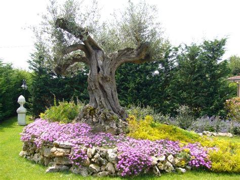 fiori per aiuola aiuola con ulivo e fiori immagini