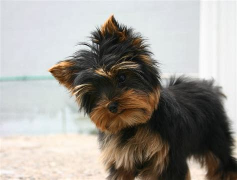 black yorkie yorkie puppy in black and jpg 2 comments