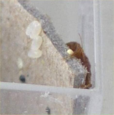 bed bug eggs hatchlings bedbugme