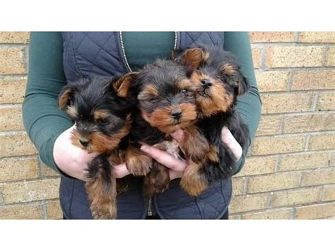 teacup yorkie potty potty trained teacup terrier puppies animals indianapolis indiana