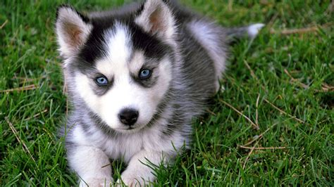 baby puppies h d wallpapers husky baby hd wallpaper