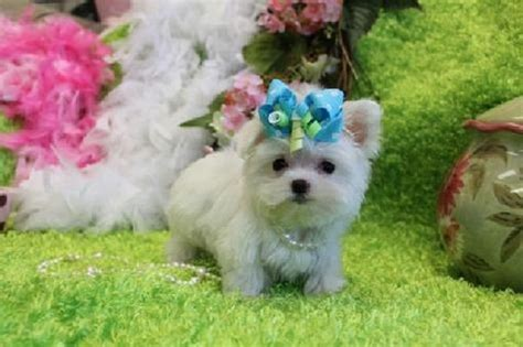 teacup maltese puppies for sale in ga teacup maltese for sale in breeds picture