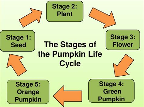 the life of a the life cycle of a pumpkin