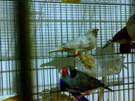gabbie per bengalini bengalino di 19 giorni cocorite e pappagallini ondulati