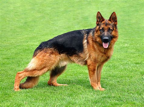 german shepherd housetraining a gsd a step by step guide german shepherd information
