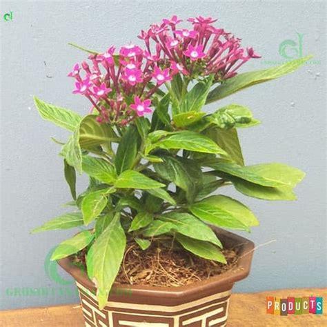 beli disini pentas bunga ungu  rimbun ibad garden