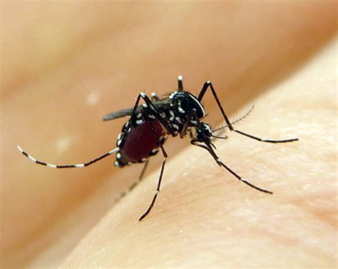 mosquito facts and fictions research news vanderbilt