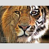 Half Lion Half Tiger Art | 1024 x 780 jpeg 383kB