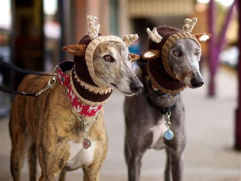 greyhound knitted hat pattern alibar knit uk greyhounds