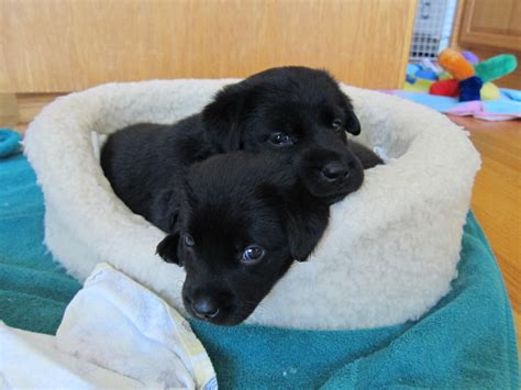 black labs puppies black lab puppies by autumnaki2 on deviantart