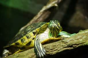 yellow belly slider turtle flickr photo sharing